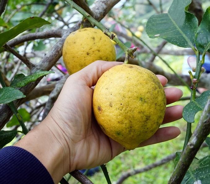 [花蓮瑞穗]法采有機生態莊園-四季黃檸檬有夠大顆!還有水蜜桃 紅江橙 這些都是有機的唷! @跳躍的宅男