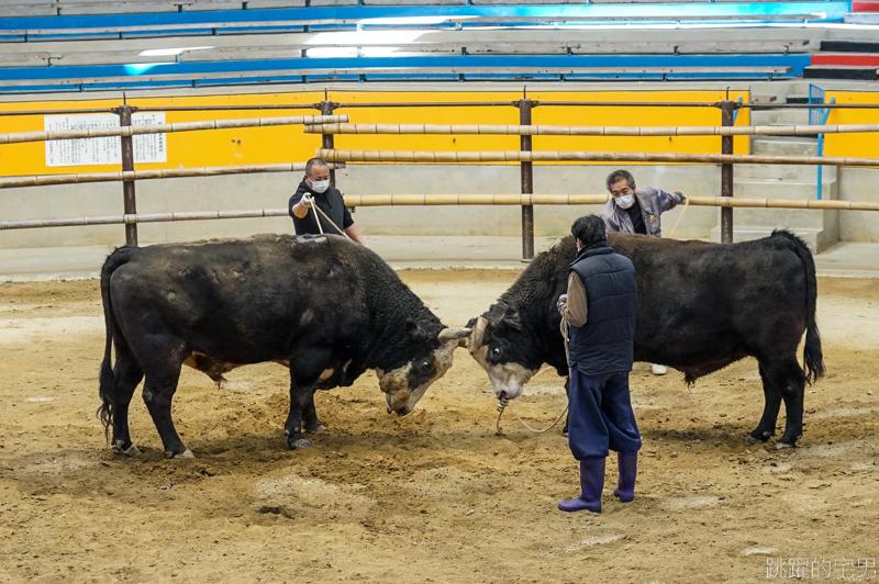 [愛媛宇和島旅遊]宇和島市營鬥牛場- 日本鬥牛文化 牛角撞擊聲響充滿圓型競技場 全日本9處鬥牛場 僅有宇和島固定舉辦鬥牛大會 宇和島闘牛  原來日本有鬥牛可以看