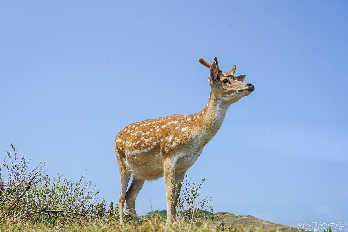 台灣也有奈良鹿  給吃就過來  大坵島百隻野生梅花鹿叢林漫步 蜈蚣雞是什麼!? 馬祖北竿一日行程推薦 淡菜 魚麵 馬祖海鮮必吃