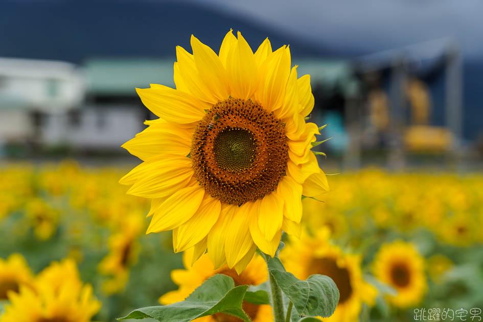 花蓮路邊就有向日葵花田  美美太陽花超級好拍 花蓮花海 附上Google地圖