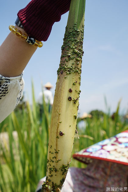 [南投埔里景點]最佳主茭腳白筍農場-產銷履歷茭白筍 魚筍共生不用農藥 體驗採筊白筍的樂趣  南投食農教育 原來茭白筍不是我們想的這樣 埔里茭白筍 南投親子景點