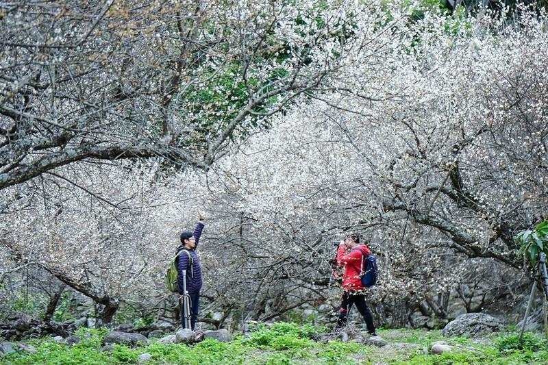 [台東景點][南橫公路]現在正是梅花最美時  賞花就是趁現在 又與池上相鄰近 新武部落看花去 @跳躍的宅男